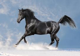 снег, вороной, конь