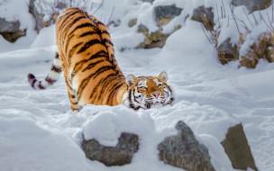 дикая кошка, тигрица, зима, снег