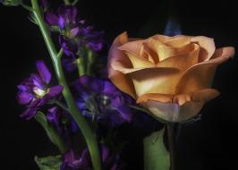 цветы, розы, лепестки, бутон