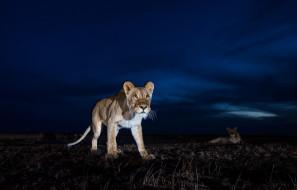 ночь, звери, львы