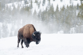 снег, зима, бизон