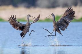 пара, танец, клюв, птицы, крылья