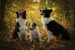 животные, собаки, листья, взгляд, язык, лес
