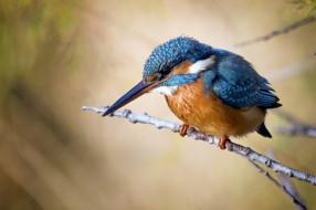 животные, зимородки, птичка