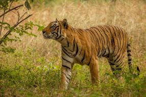 хищник, дикая кошка, тигр