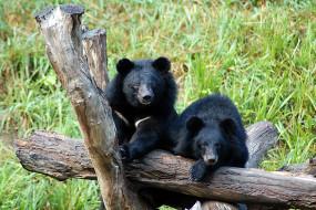 Барибалы, хищники, чёрные, медведи