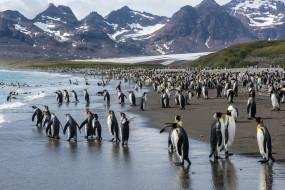 берег, море, королевские пингвины