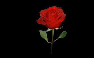 красная, роза