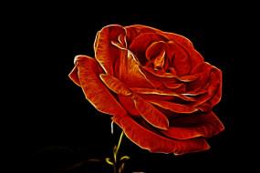 роза, фон