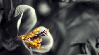 лепестки, тычинки, цветок