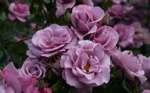 розы, розовые, куст