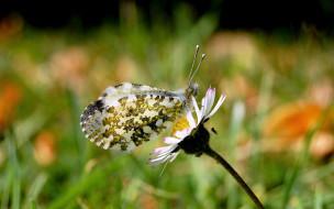 ромашка, бабочка, цветок