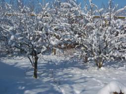 снег, ветки, дерево