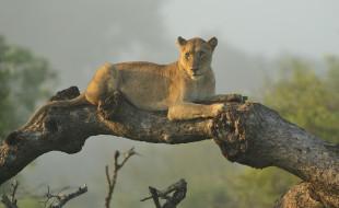 дерево, львица, отдых