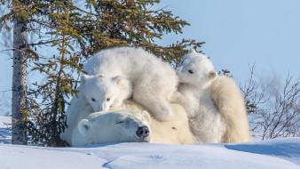 медведя, животные, три