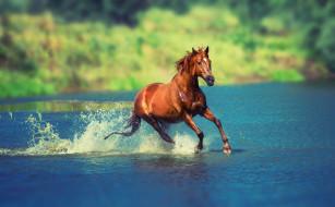 озеро, конь, гнедой