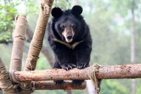 чёрный, Гималайский, хищник, медведь