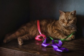 лента, рыжий, кот