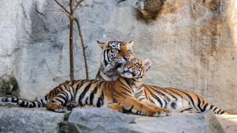 тигры, лежат, Германия, хищники, камни