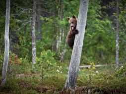 медведь, малыш, дерево, поза, язык, лес