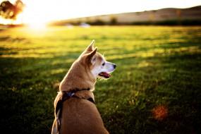 собака, поводок, луг