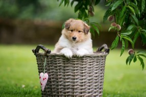 лапки, ветки, сердце, поляна, листья, маленький, собака, природа, газон, корзина