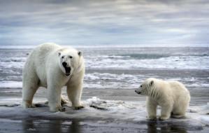 медведи, природа, море