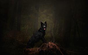 темнота, собака, поза, ветки, деревья, язык, лес