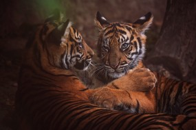 тигрята