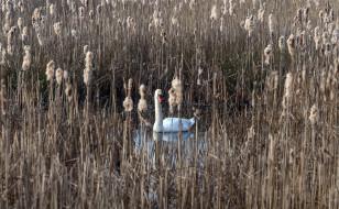 озеро, камыш, лебедь