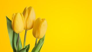 тюльпаны, жёлтые