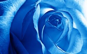 роза, макро, голубая