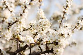 цветение, весна, ветки