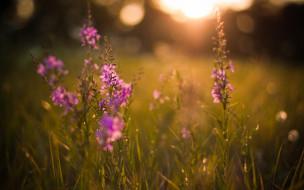 луг, трава, фиолетовые