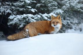 зима, снег, рыжая, красавица, лиса