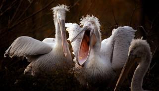 природа, пеликаны, птицы
