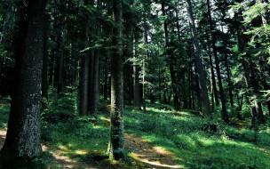 природа, лес, зелень, лето, сосны