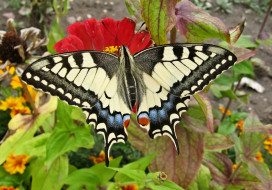 цветок, насекомое, Махаон, бабочка