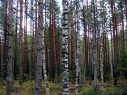 природа, лес, сосны, березы