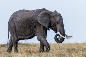 бивни, уши, слон
