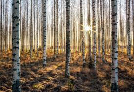 природа, лес, березы