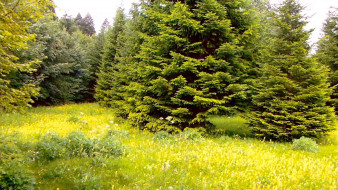 природа, лес, елки