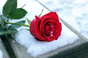 роза, снег, лепестки