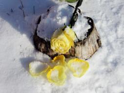 снег, роза, лепестки