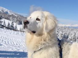 снег, лес, пес, белый, горы