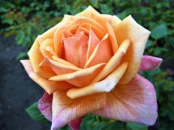 роза, кремовая