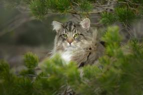 животные, дикие кошки, дикий, кот