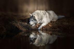 собака, отражение, природа, вода, домашние животные