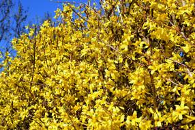 цветы, цветущие деревья ,  кустарники, желтый