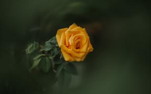 цветы, розы, одиночка